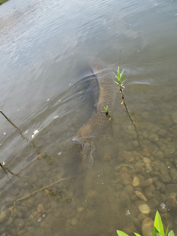 Carp on the fly death march fly fishing for carp for Carp fly fishing