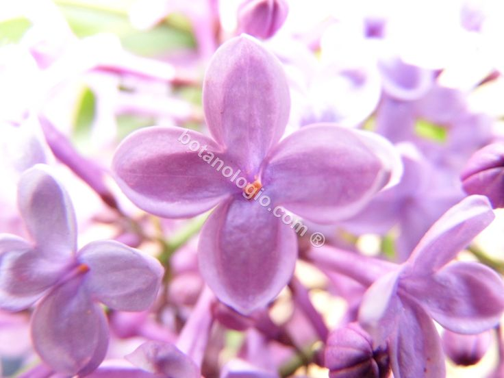 Lilac flower, spring
