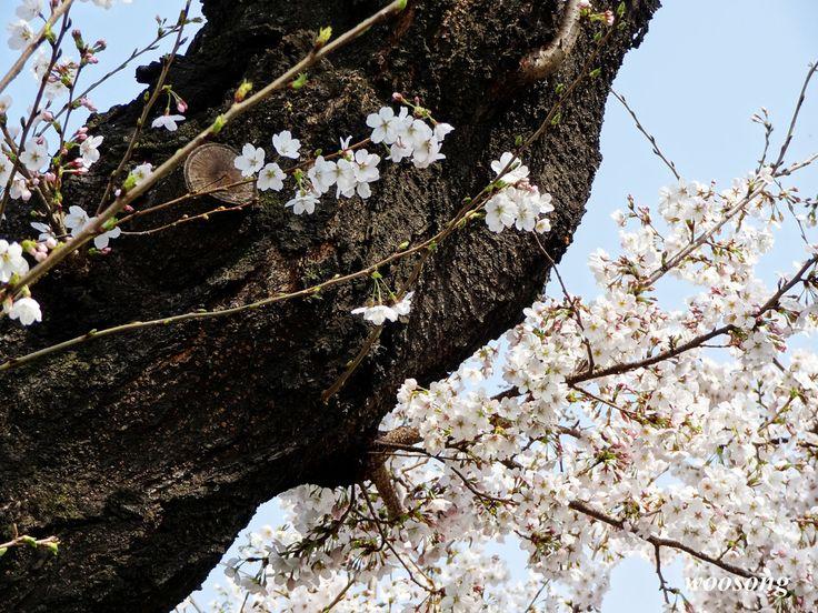 고목 벚나무