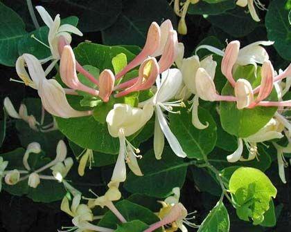 Lonicera caprifolium, honey suckle