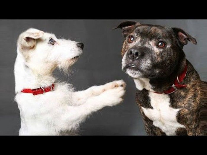 Blind Jack Russell And Guide Dog - An INCREDIBLE Friendship That You've NEVER Seen Before!
