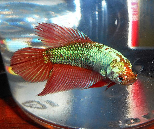 Identify betta 285388 for How much are betta fish at petco
