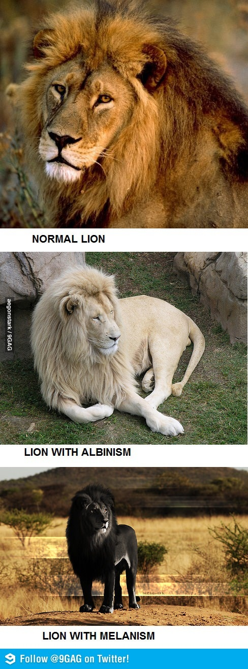 Normal, Albino and Melanistic Lion I never knew this happened I want the scientific story of this occurance for realzies