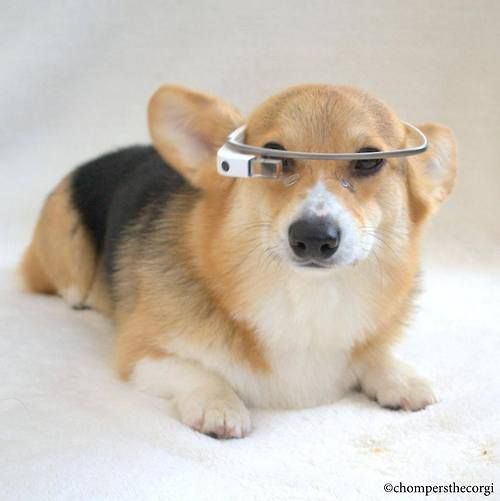 Cy-borgi.  The next generation of Corgis. http://chompersthecorgi.tumblr.com/
