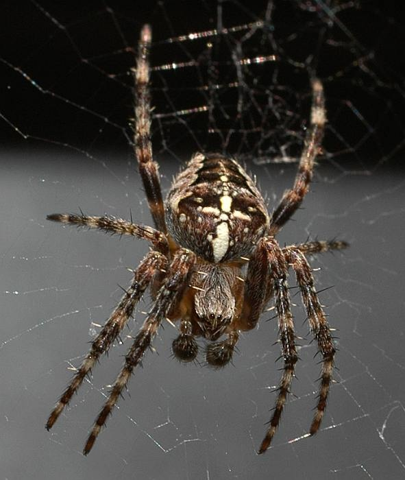 17 Best Images About Spiders On Pinterest Gardens Black