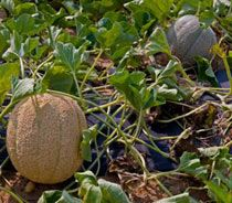How to Grow Cantaloupe and Honeydew MelonsBonnie Plants, Green Thumb, Fruit Growing, Cantaloupe Melon, Cantaloupe Gardens, Cantaloupe Plants, Honeydew Melon, Growing Melon, Growing Cantaloupe