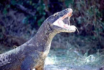 Reaching 10 feet (3 meters) in length and more than 300 pounds (136 kilograms), the komodo is a monster among monsters TB angry komodo dragon | komodo_dragon