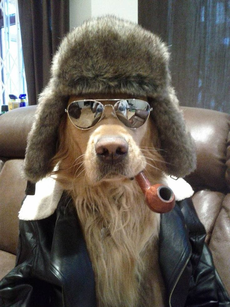 Golden Retriever with cool aviator sunglasses, fuzzy hat ...