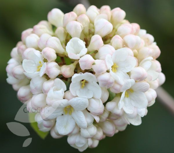 Viburnum Viburnum × carlcephalum - this deciduous spring-flowering scented viburnum is perfect for a partly shaded spot in your garden