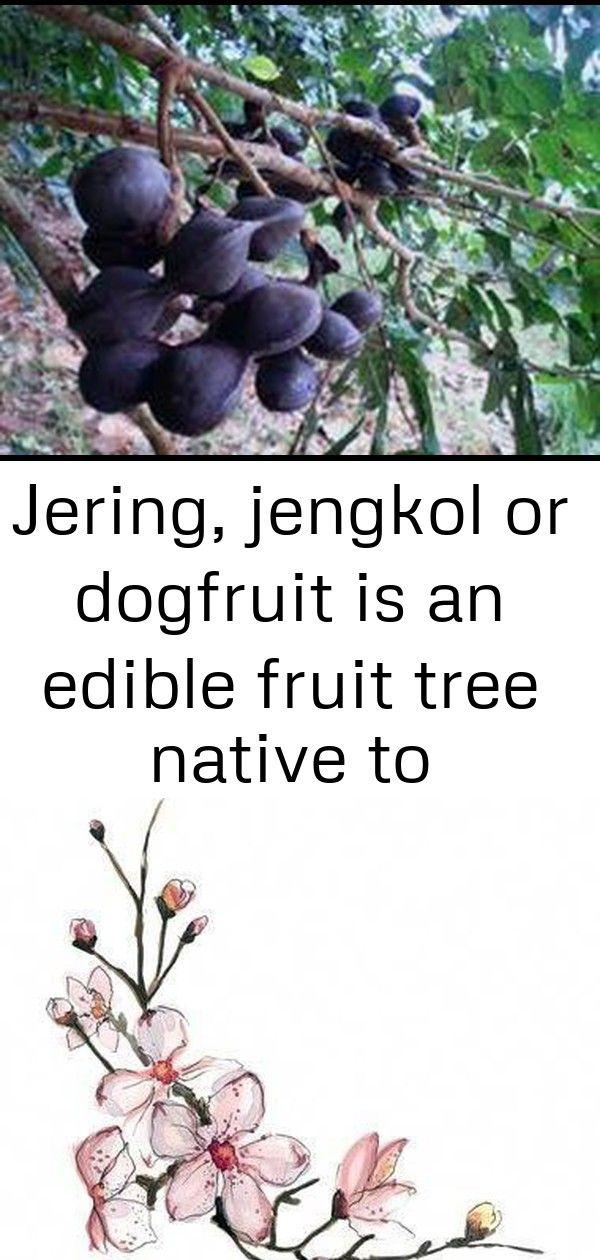 Jering Jengkol Or Dogfruit Is An Edible Fruit Tree Native To Southeast Asia 5 Fruit Trees Fruit Edible