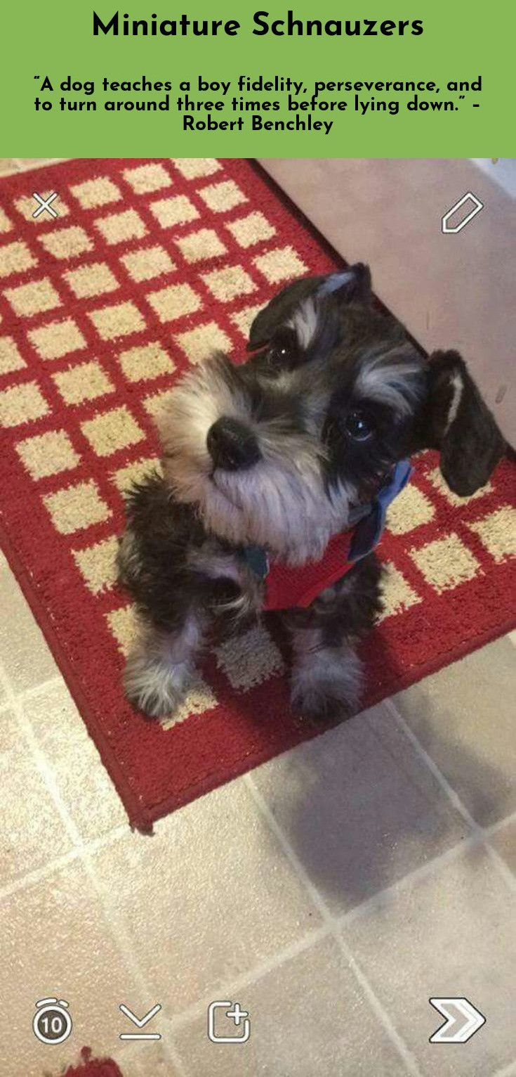 Dogs Are Often Happier Than Men Simply Because The Simplest Things Are The Greatest Things For Them Miniatureschnauzer Miniature Schnauzer Schnauzer Dogs