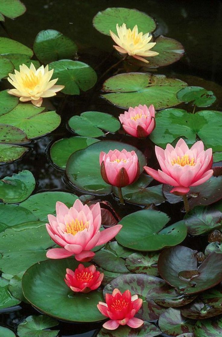 55 best lotus and waterlilies images on pinterest lotus flowers the lotus flower is a metaphor for buddhisma metaphor for life the muddy swamp is where the lotus flower blooms life problems the mud produce stunning mightylinksfo
