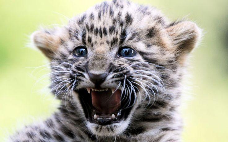 Leopard Cub Roars