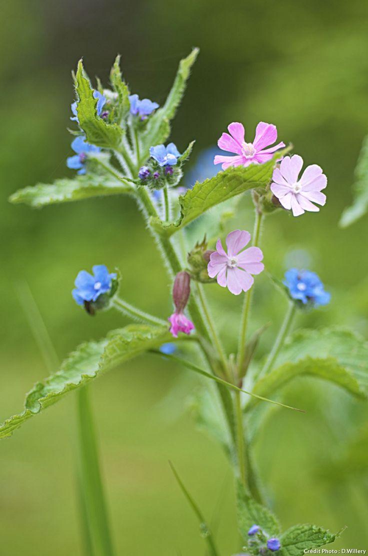 Plante sauvage à cultiver au jardin Compagnon rouge Silene dioïca Pousse au soleil ou à mi-ombre. Une pousse au pied ou un fruit en graines permettent de l'emporter chez soi. Présent, pas envahissant.