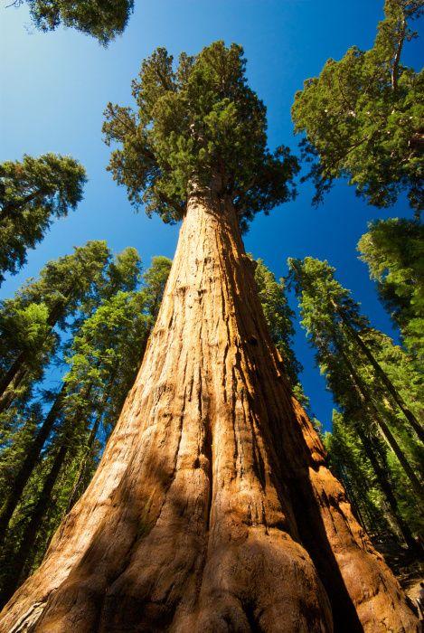Mammutbaum in Kalifornien