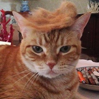 First, brush your cat. | A Casual Reminder That There's An Instagram Account Of Cats With Trump Toupees