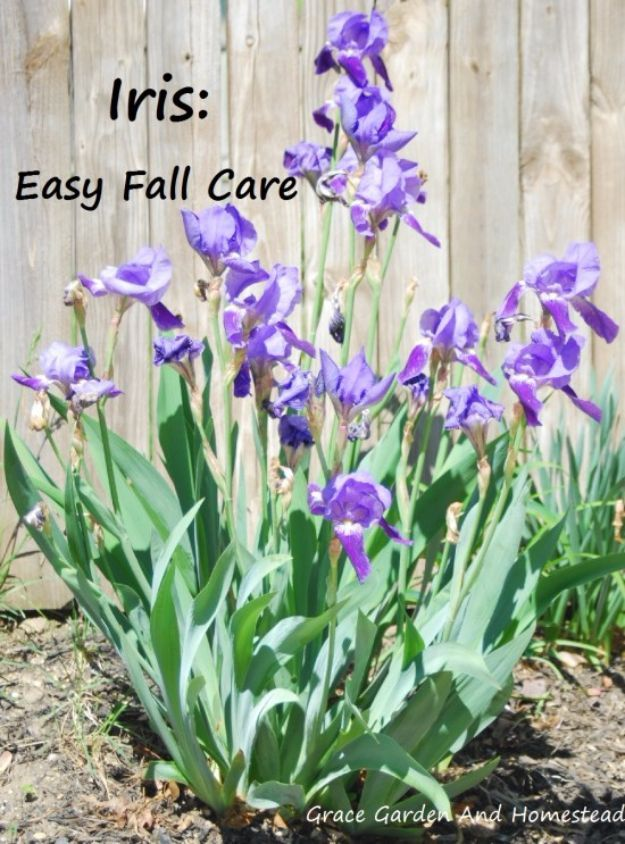 how to plant iris bulbs in fall
