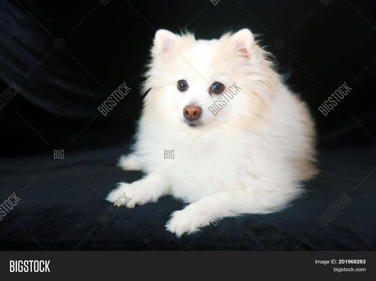 55+ Indian Pomeranian Dog Black in 2020 (With images