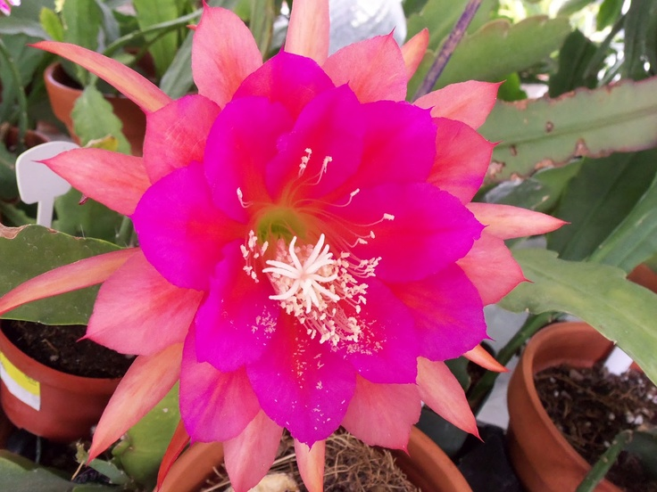 The Epiphyllum Garden: June 2012  'Letty May'