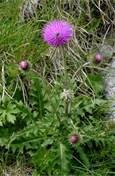Musk Thistle weed