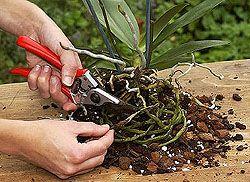Phalaenopsis – die richtige Pflege von Orchideen Mehr