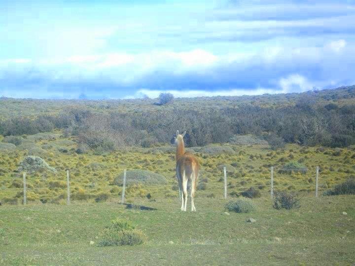 Parque Nacional Torres del Paine  Guanaco