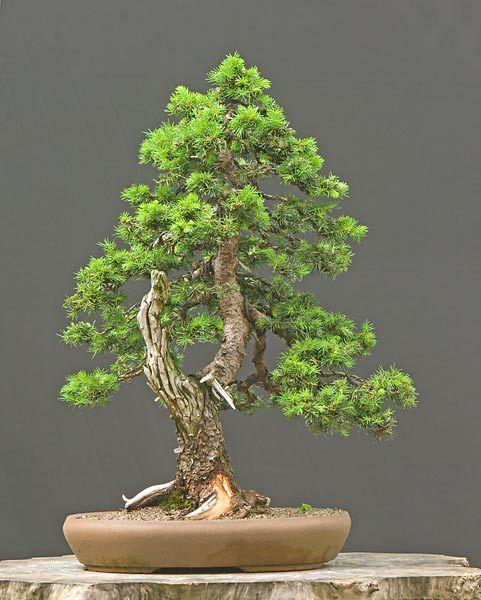 Drzewko Bonsai świerk Serbski Na Wiosne 7304231249