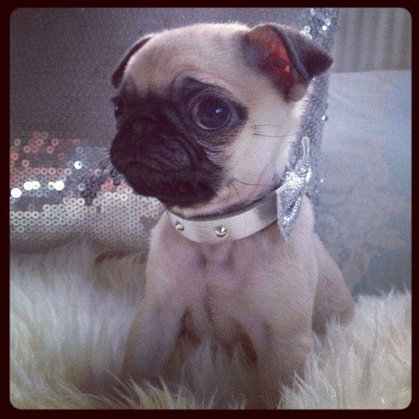 PUG: Cute Pug Puppies, Pretty Pugs, Puggy Wuggies, Pug Drug, Cute Pugs, Animals 3, Baby Pugs, Cutestt Animalsss