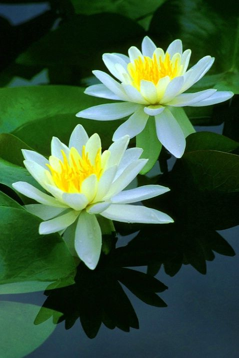 water lilies. 2013 will be the snake water's year on lunar calendar. Let's celebrate! And hey, there are many free quotes on http://onlymyquotes.worpress.com
