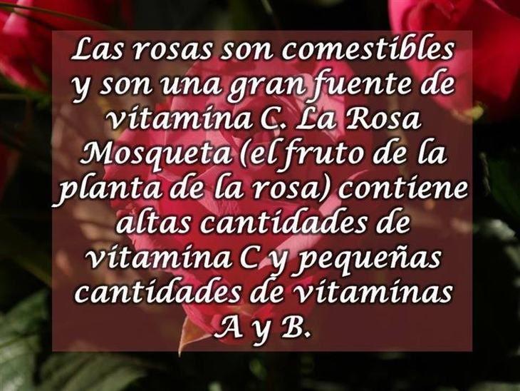 10 Curiosidades sobre las rosas   Naturaleza - Todo-Mail