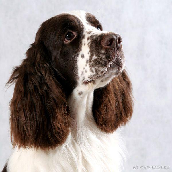 фотографии собак породы английский спрингер спаниель