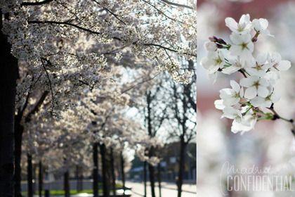 Cerezos en flor. En la Avenida de Portugal, cerca de Madrid Río, se han puesto a florecer nada menos que unos setecientos cerezos. Es como estar en Japón, pero a la vuelta de la esquina (y tú que te conformabas con sushi…).