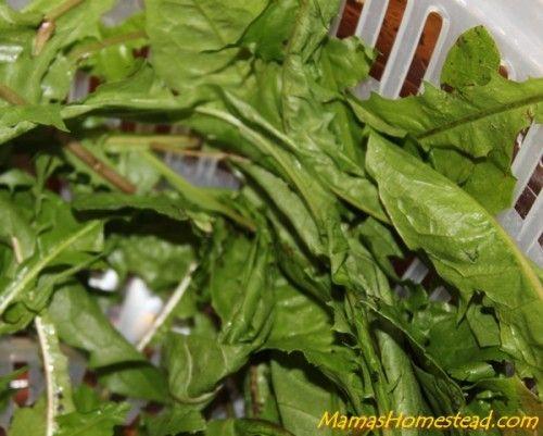 How to Make Dandelion Tea - Mama's Homestead