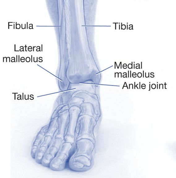 25+ best ideas about ankle joint on pinterest | ankle anatomy, Cephalic Vein