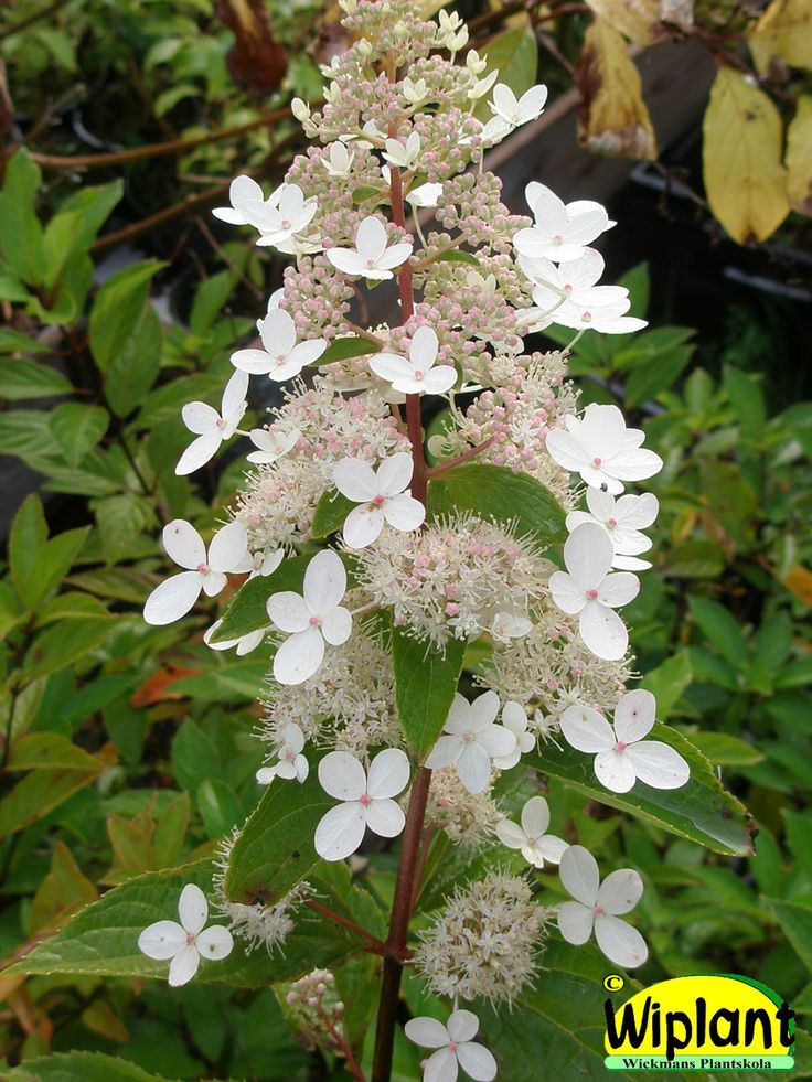 Hydrangea pan. 'Big Ben', Big Ben hortensia. Långa blomklasar med både han- och honblommor  Blommar från mitten på augusti.  Höjd 1-2 m.