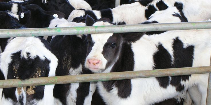 Discarded bobby calves awaiting slaughter