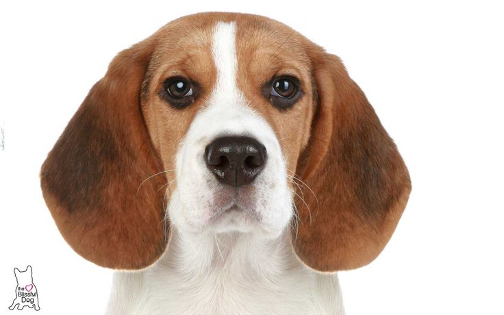 Beagle Nose Problems are helped FAST by NOSE BUTTER®.