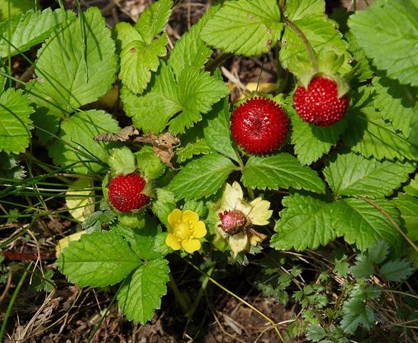 Edible Duchesnea or Indian Strawberry Plant