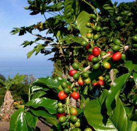 """Kona coffee blooms in February and March. Small white flowers cover the tree and are known as ""Kona Snow"". In April, green berries begin to appear on the trees. By late August, red fruit, called ""cherry"" because of the resemblance of the ripe berry to a cherry fruit, are starting to ripen for picking."""