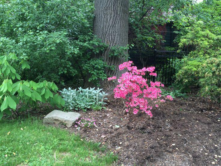 Azalea, lamb's ear, wild pink and pre-bloom.  - May 16, 2015