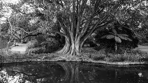 Image result for een boom zwart wit 1 kleur