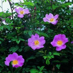 Rosa canina 'Hibernica' - David Austin Roses R. pimpinellifolia x R. canina. Une superbe variété, couverte de fleurs blanc crème que remplacent des fruits, dont la croissance se poursuit jusqu'en hiver. Végétation délicate et buissonnante. 1,8m x 1,5m.