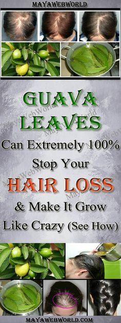 Guava Leaves Can Extremely 100% Stop Your Hair loss And Make It Grow Like Crazy – MayaWebWorld