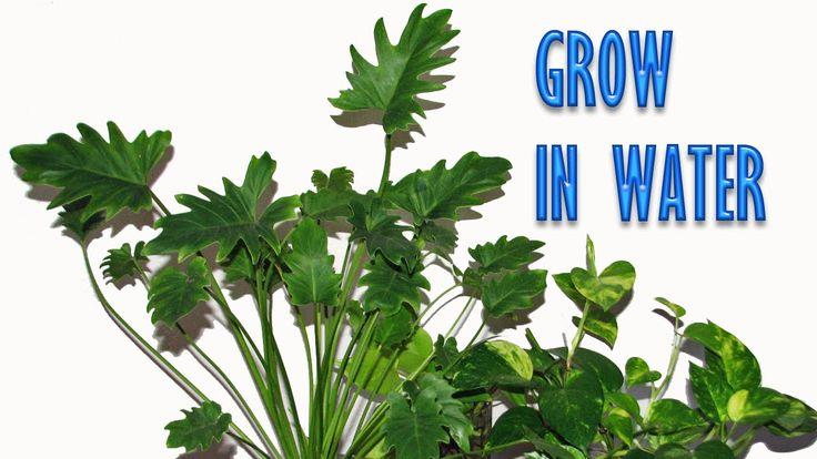 Grow Indoor Plants In Water For Years Water Plants 640 x 480