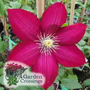 Find This Pin And More On Clematis By Gardencrossings.