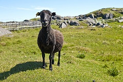 Smiling Sheep, Fogo Island
