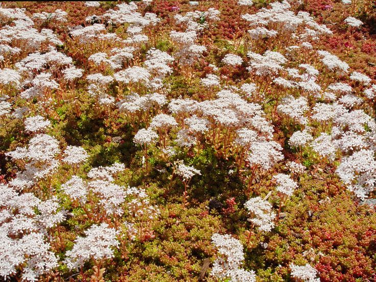 32 best images about stepables on pinterest sun deer and small white flowers - Sedum album coral carpet ...