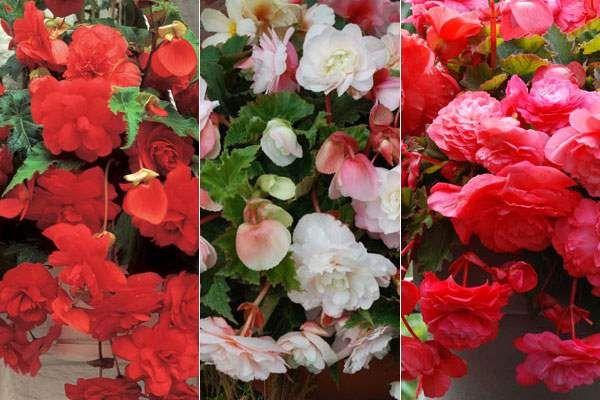 Tipos de Begonias según sus hábitos - http://jardineriaplantasyflores.com/tipos-de-begonias-segun-sus-habitos/
