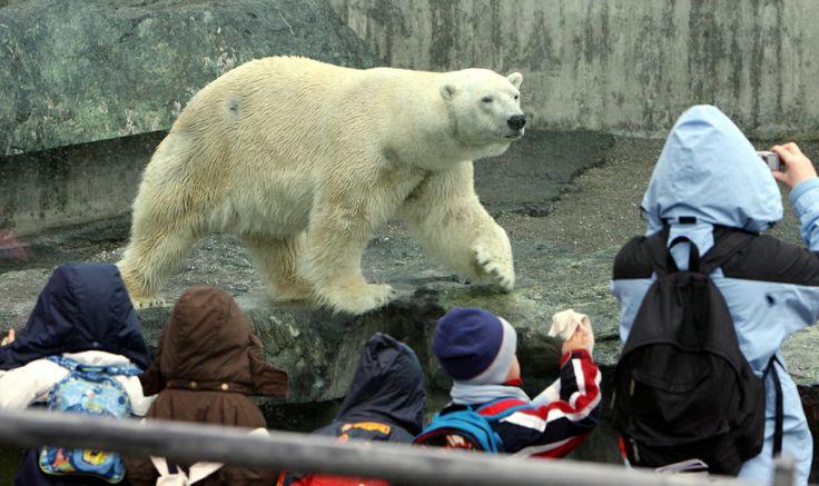 """Fotografía facillitada por el zoo Wilhelma (Stuttgat, Alemania) del oso polar """"Anton"""" fallecido en el zoo. Segun la autopsia, el oso polar ya había ingerido trozos de mochilas y chaquetas en el mes de enero, pero además en la autopsia apareció que había tragado un muñeco de trapo que le arrojan los visitantes del zoológico. (EFE) - See more at: http://hd.clarin.com/#sthash.BV84QQgu.dpuf"""