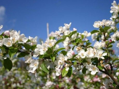 Malus x atrosanguinea 'Gorgeous' - The Gorgeous Crab apple is a small to medium sized tree that can grow to 5m tall and 4m wide. This beauty has pure white flowers in Spring and medium sized red fruit in Autumn. Great for making crab apple jelly.  A Gorgeous Crabapple is a stunning addition to any suburban garden, especially as a feature or to line driveways. For an avenue we recommend planting these trees 5m apart or for a screen 1.5m apart.